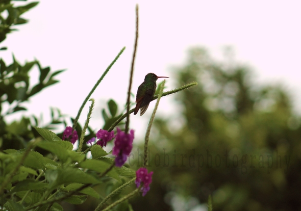 hummingbbird6